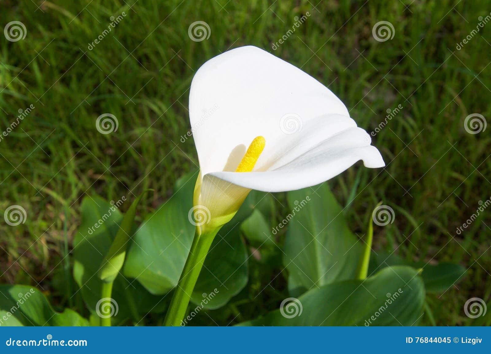 White flower with yellow stem image collections flower decoration white flower with yellow stem images flower decoration ideas white flower with yellow stem choice image mightylinksfo