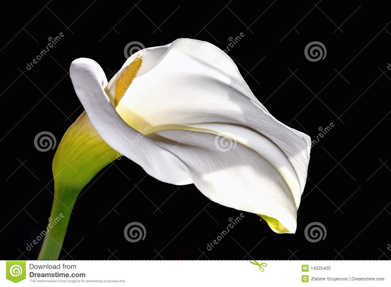 White calla lily flower stock illustration illustration of beauty white calla lily flower izmirmasajfo