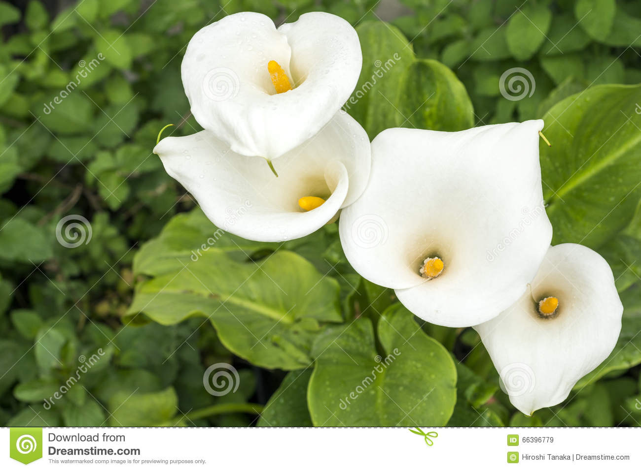 White calla lily flowers stock image image of flower 66396779 white calla lily flowers izmirmasajfo Image collections