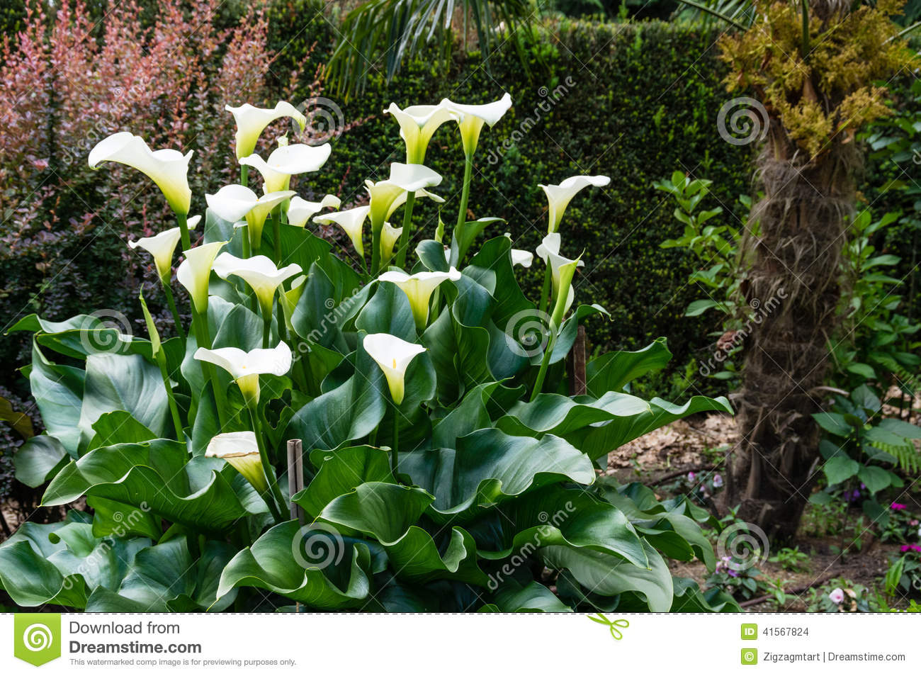White Calla Lily Plant In Bloom Stock Photo Image Of Flower Plant