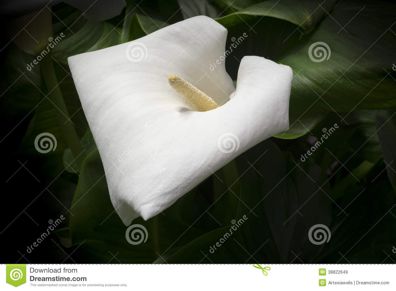 White Calla Lily Stock Image Image Of Flowers Closeup 38822649