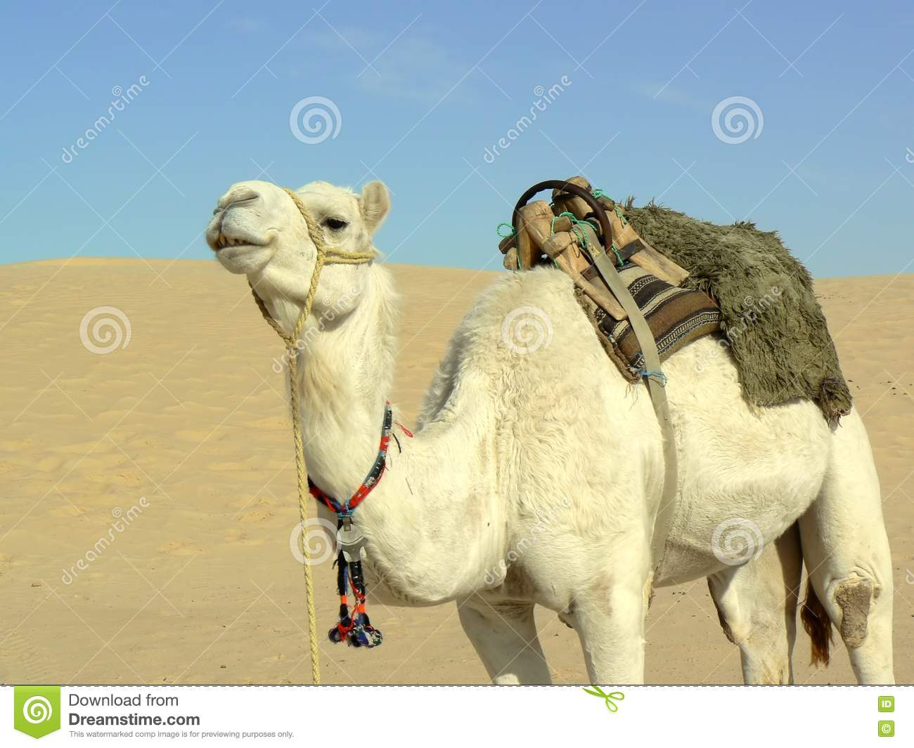 White camel in desert stock photo. Image of adaptation ... Mammals Clipart Black And White