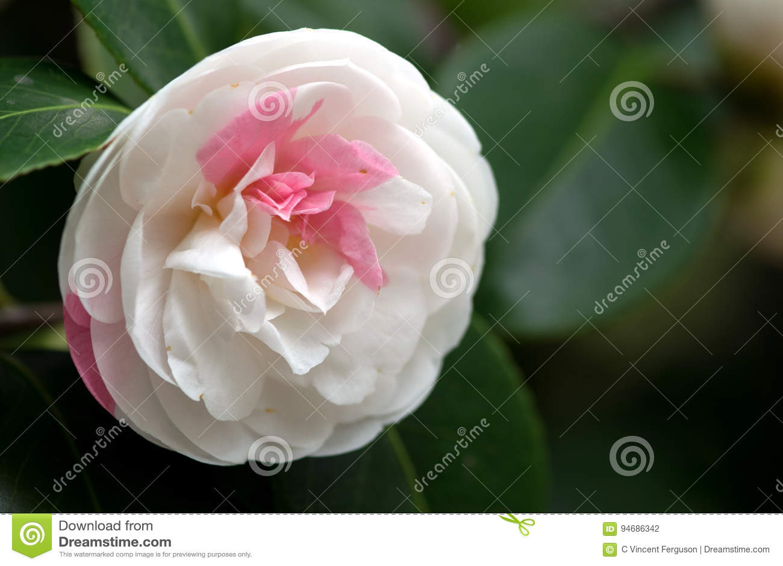 White camellia flower stock photo image of pink white 94686342 white camellia flower mightylinksfo