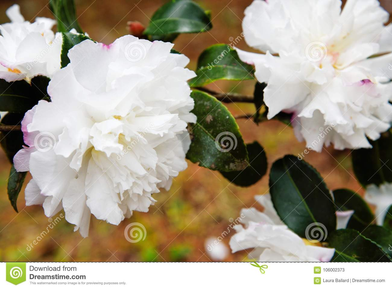 White camellia flowers in full bloom with copy space stock image download comp mightylinksfo