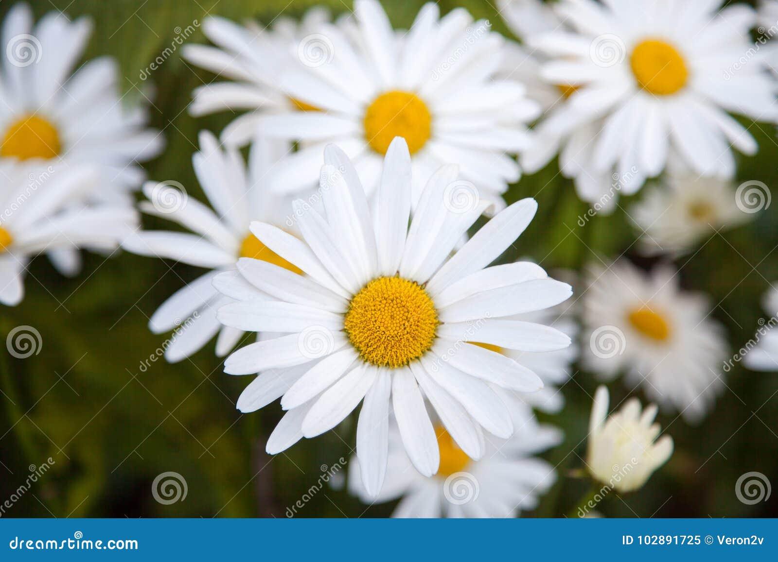 White camomiles stock image image of beautiful blurred 102891725 white camomiles mightylinksfo