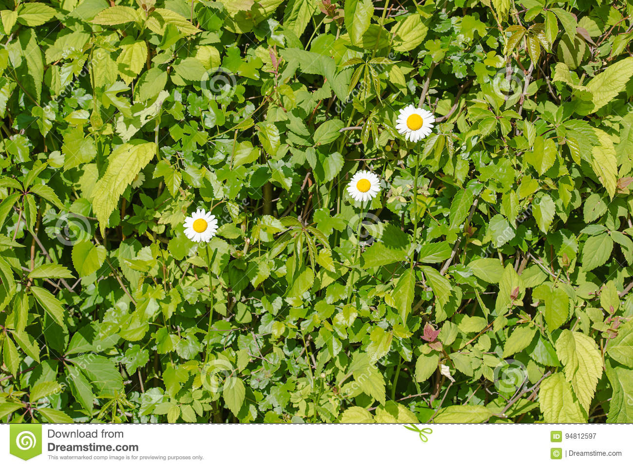 White camomiles with wild vine green hedge background stock image download comp mightylinksfo
