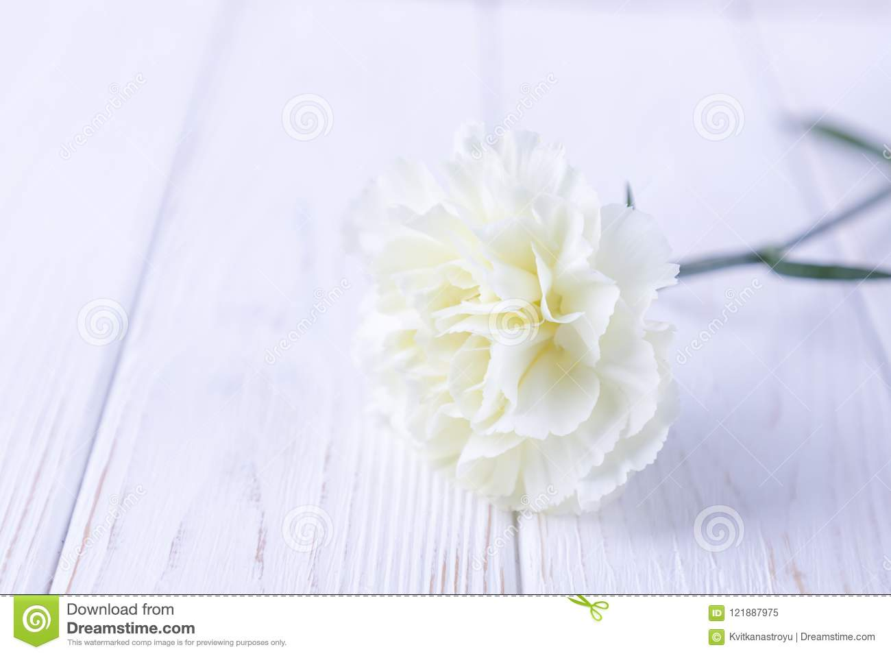 White Carnation Flower On A White Background Free Space Stock Image