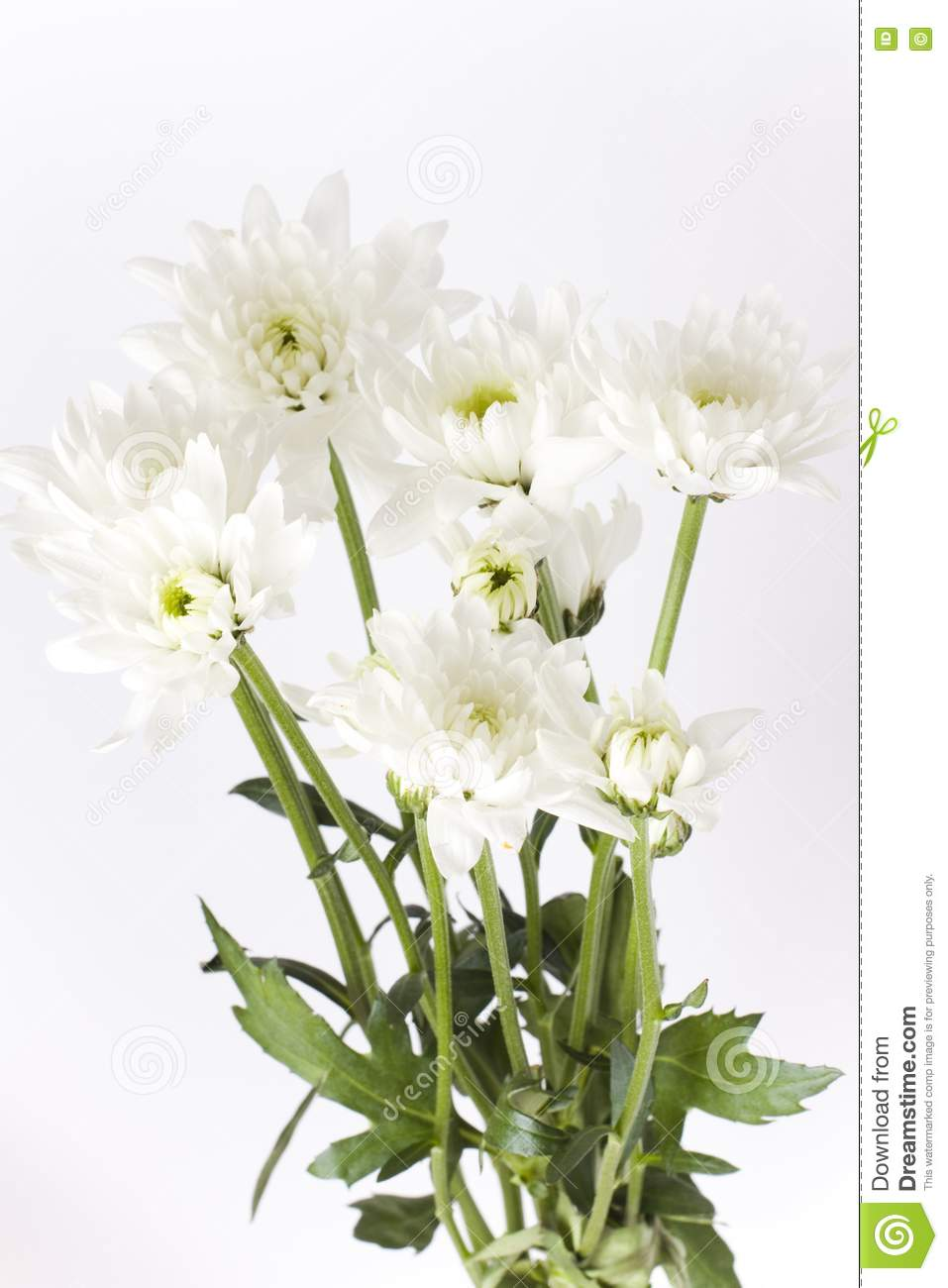 how to grow carnations from stems
