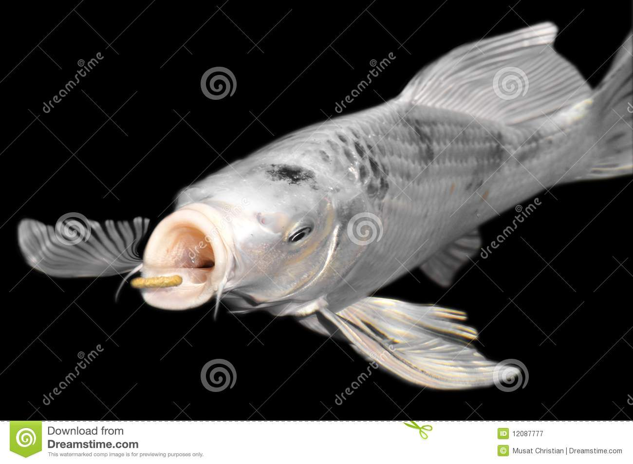 White carp koi on black background royalty free stock for Black white koi