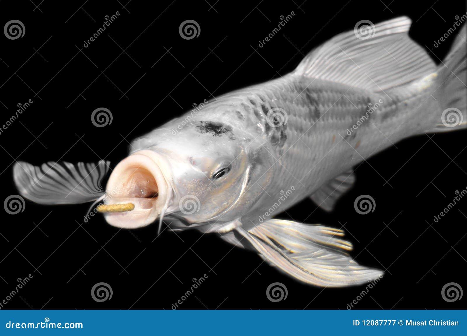 White carp koi on black background