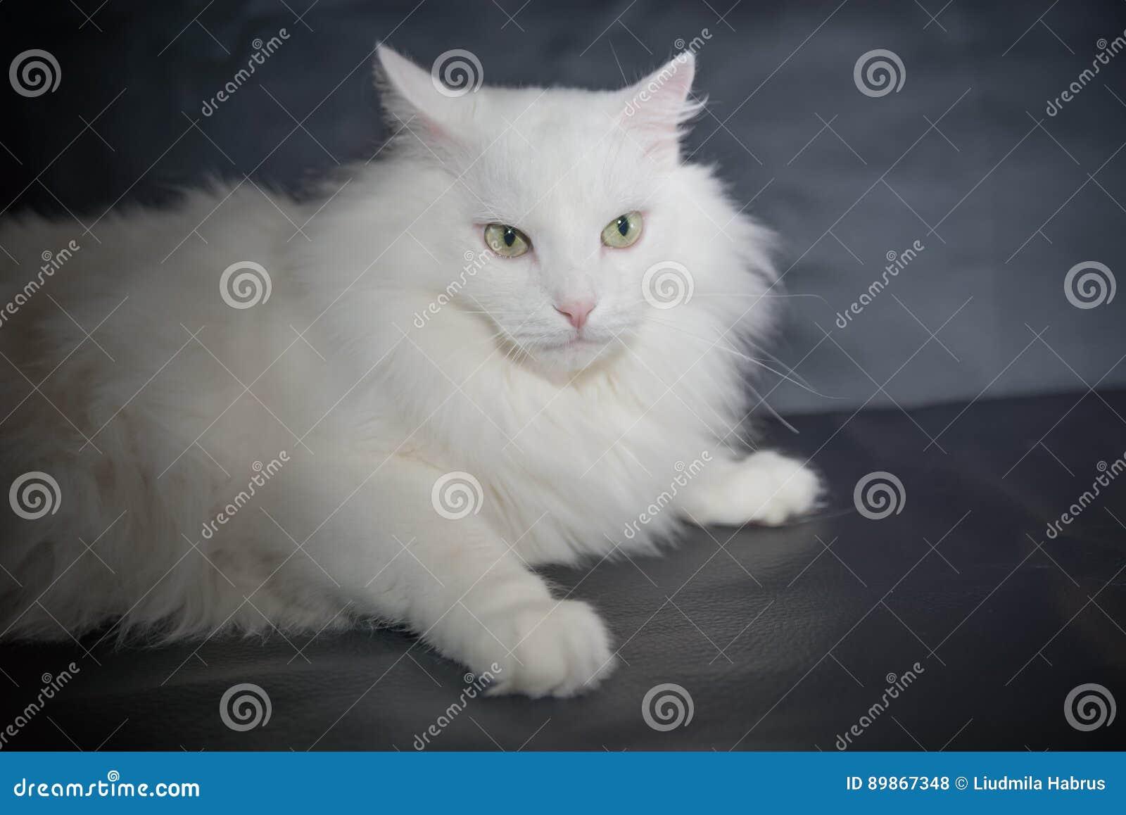 White Cat Breed Persian Angora Stock Photo Image Of Fluffy