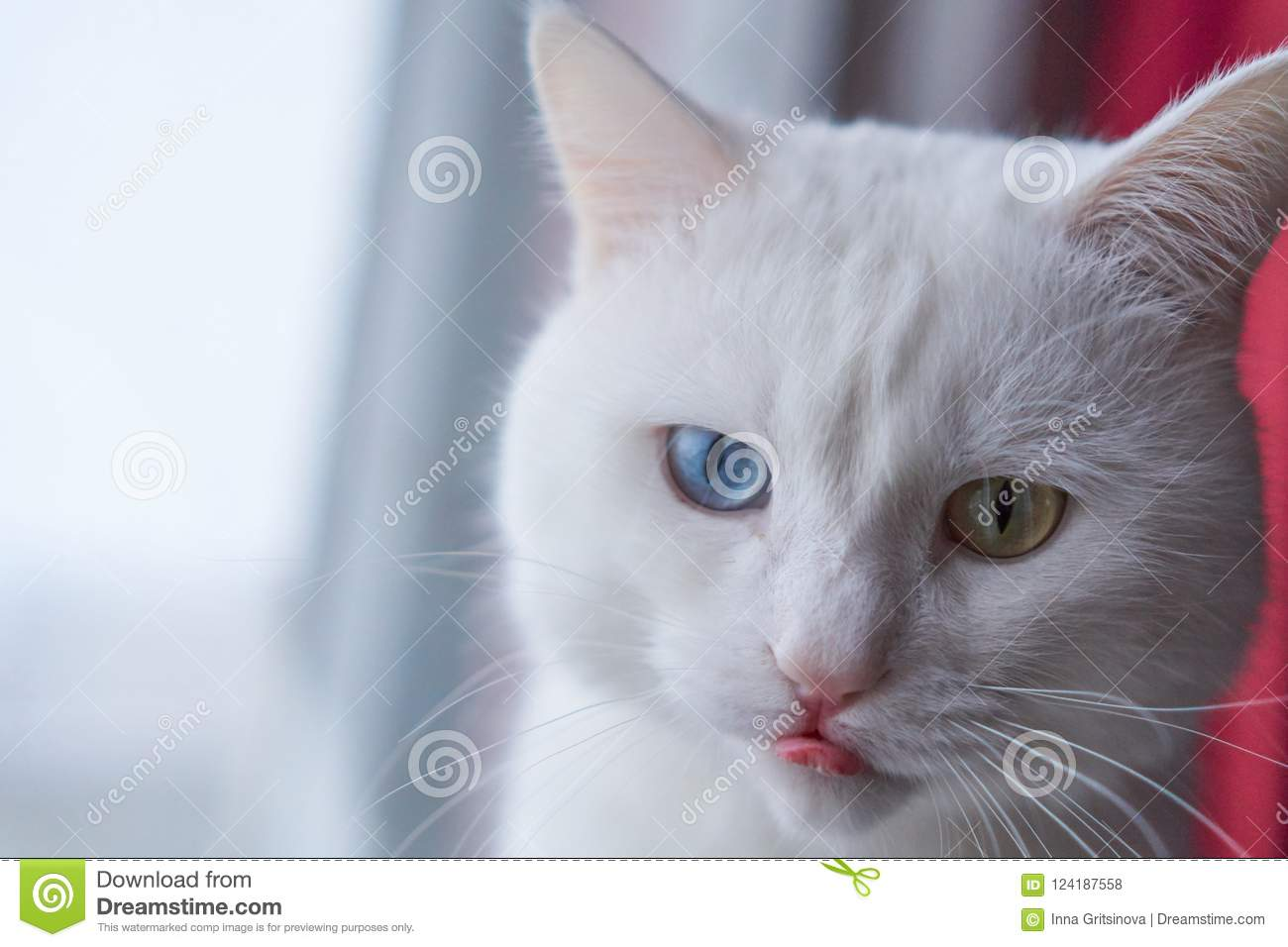 d7bf6d08c6 White cat with different eyes. Odd-eyed kitten. Cat with 2  different-colored eyes