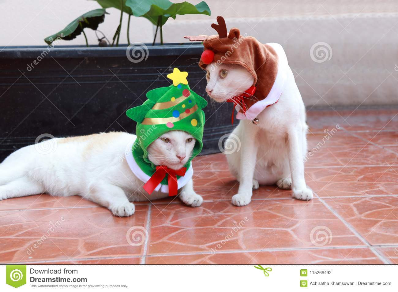 White cat put the green Christmas tree hood and another white cat put the reindeer hood sitting and laying down on the brown floor