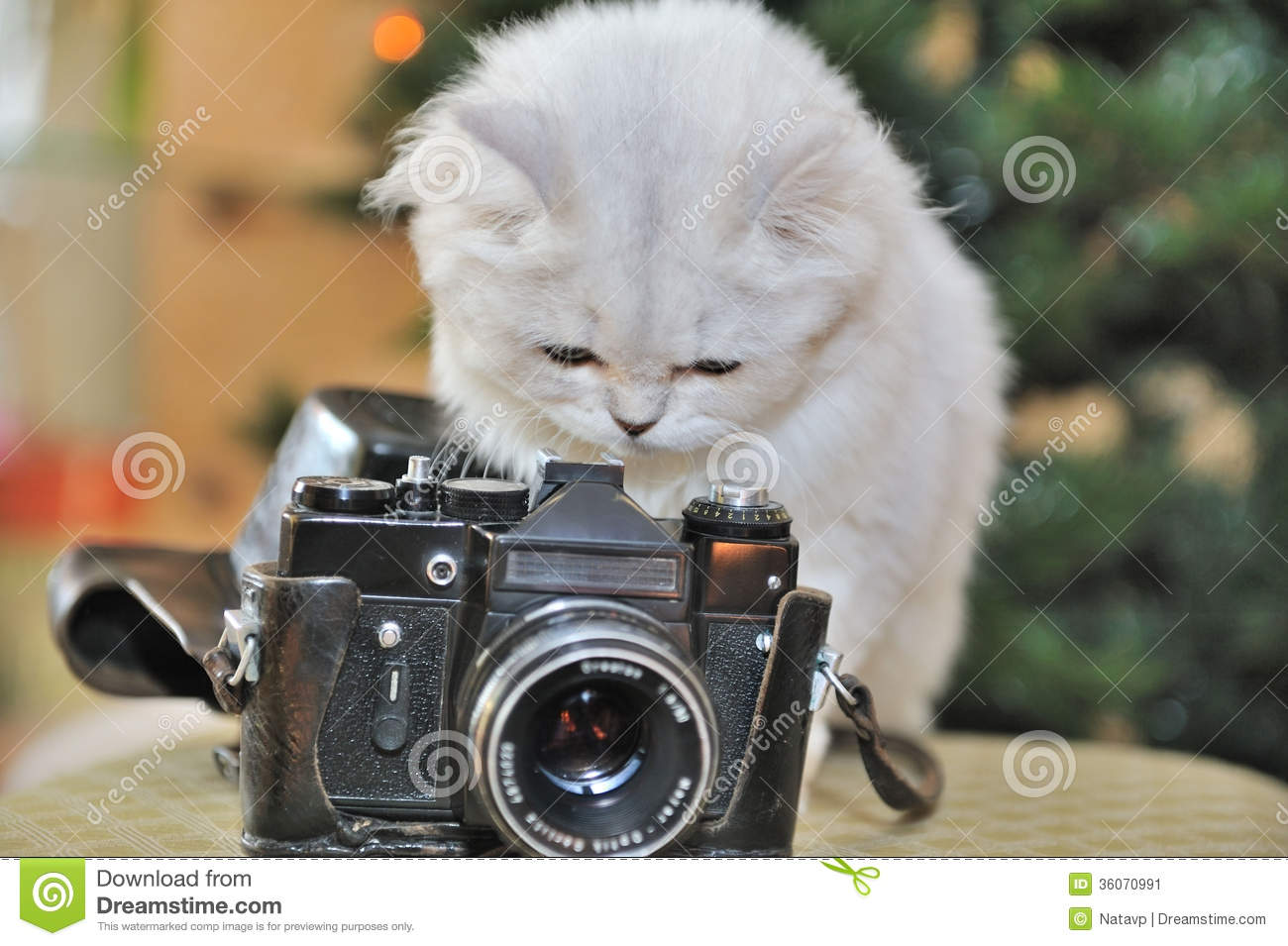 White Cat Sitting Chair Looks Into The Camera Stock Image