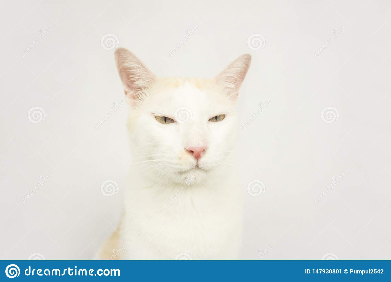 White cat with a white background