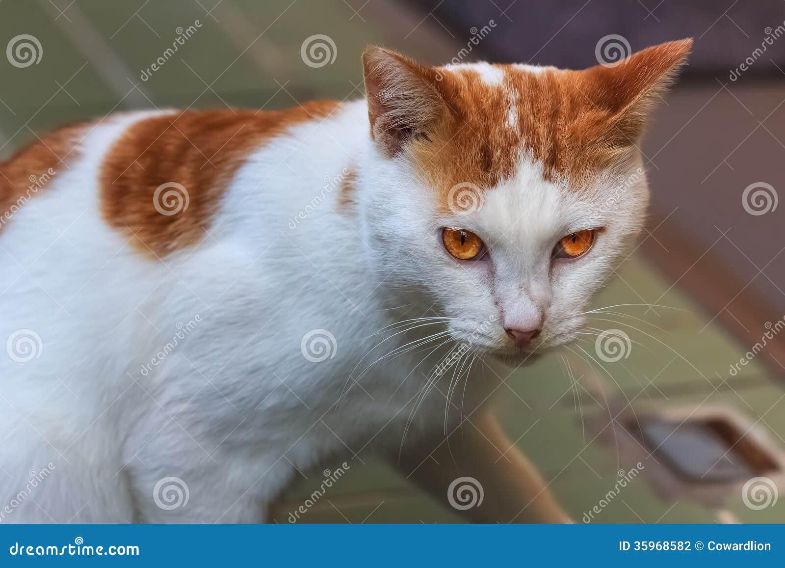 Белый с желтым кот