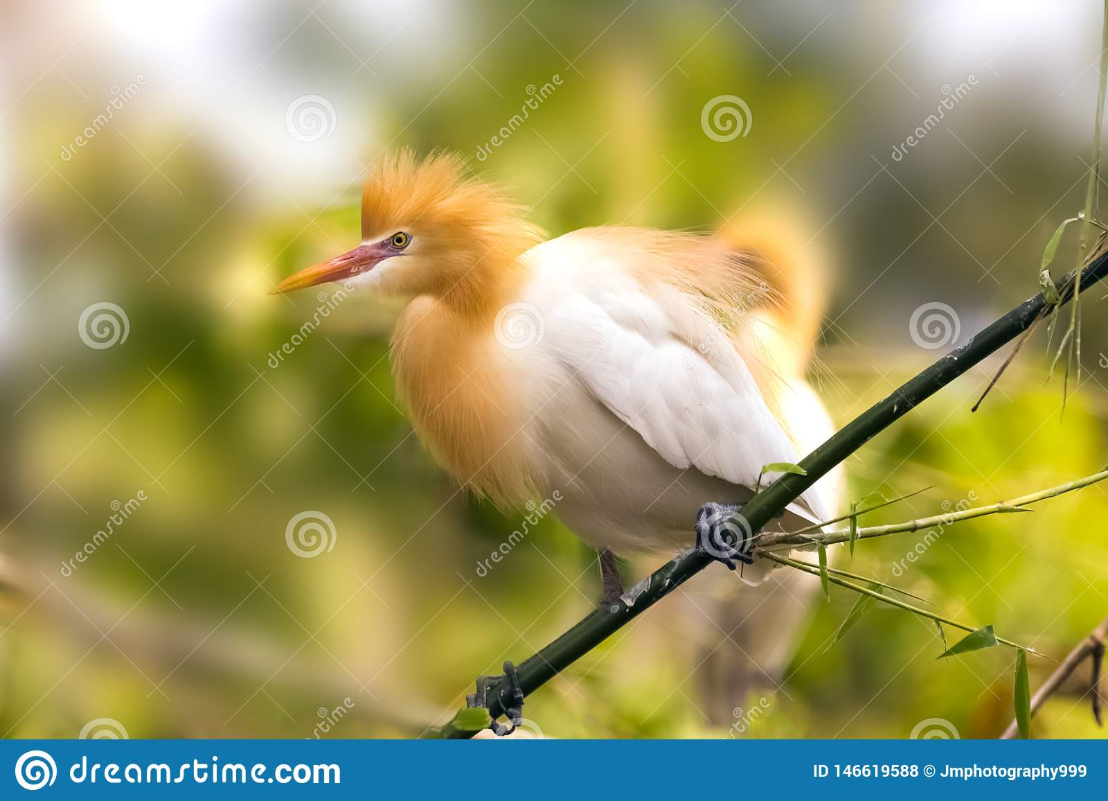White Cattle egret is found in the bamboo trees lakeside Pokhara Nepal