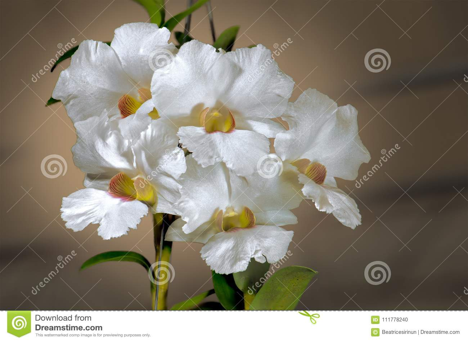 WHITE CATTLEYA HYBRID ORCHID.