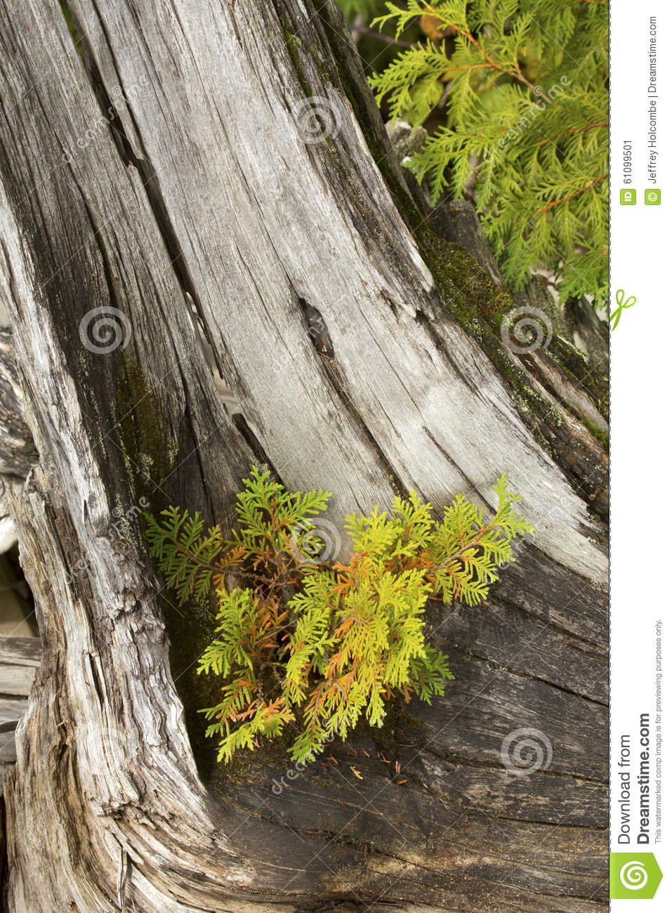 white cedar seedling grows on a driftwood stump in maine