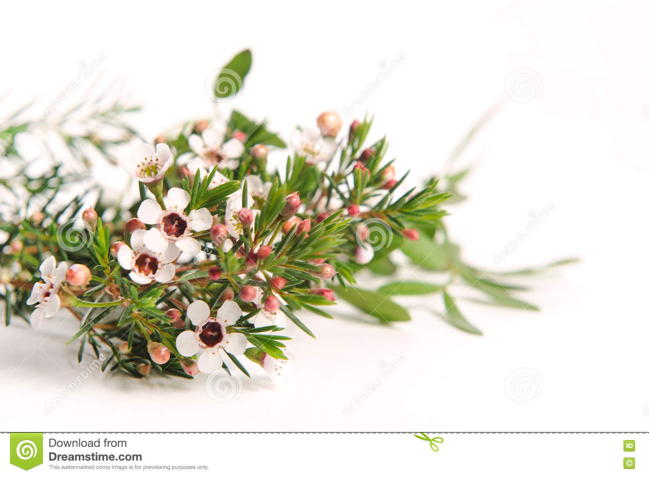 White Chamelaucium Waxflower Stock Photo Image Of Pretty Design
