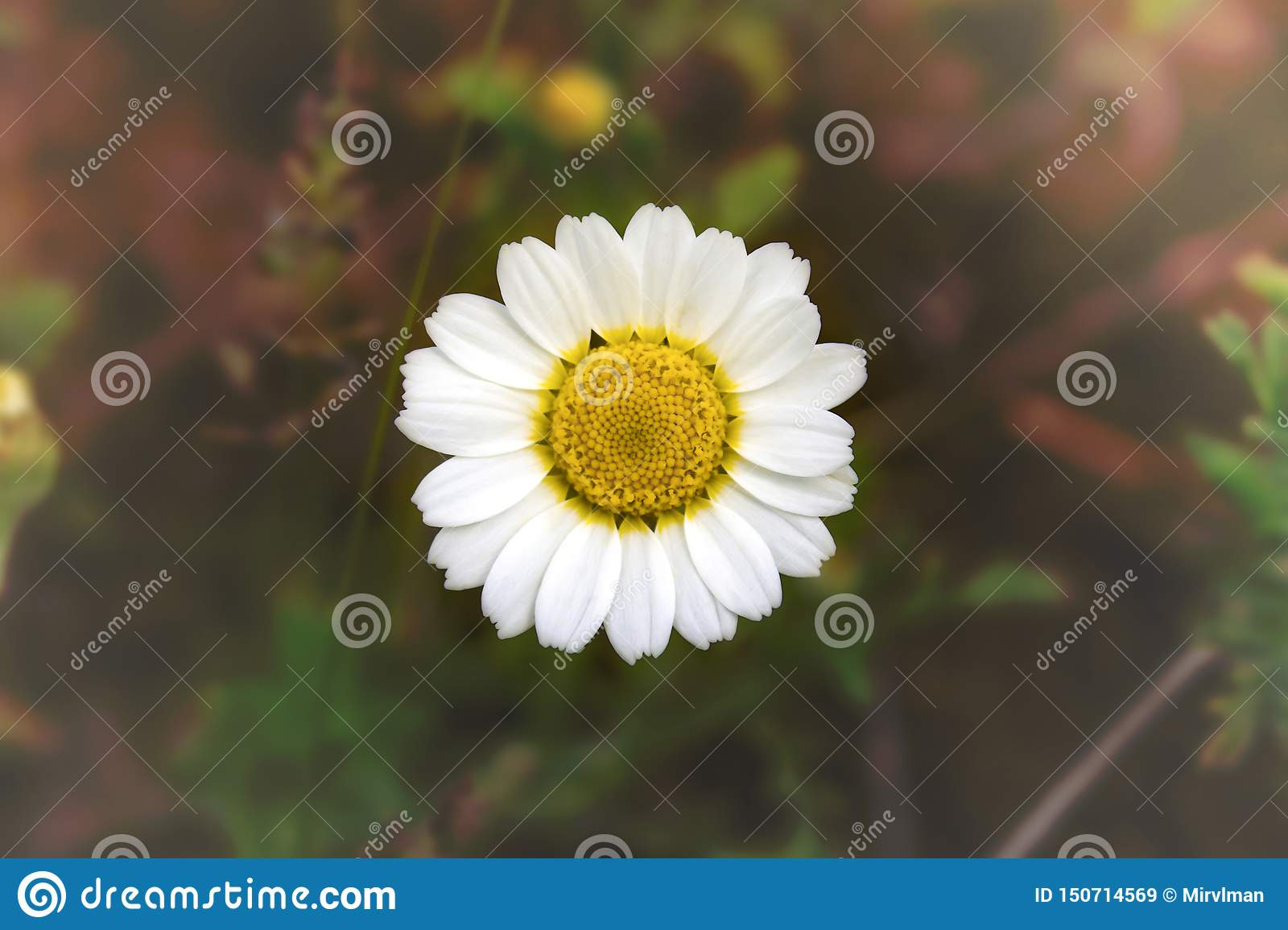 White chamomile - daisy on blurred background