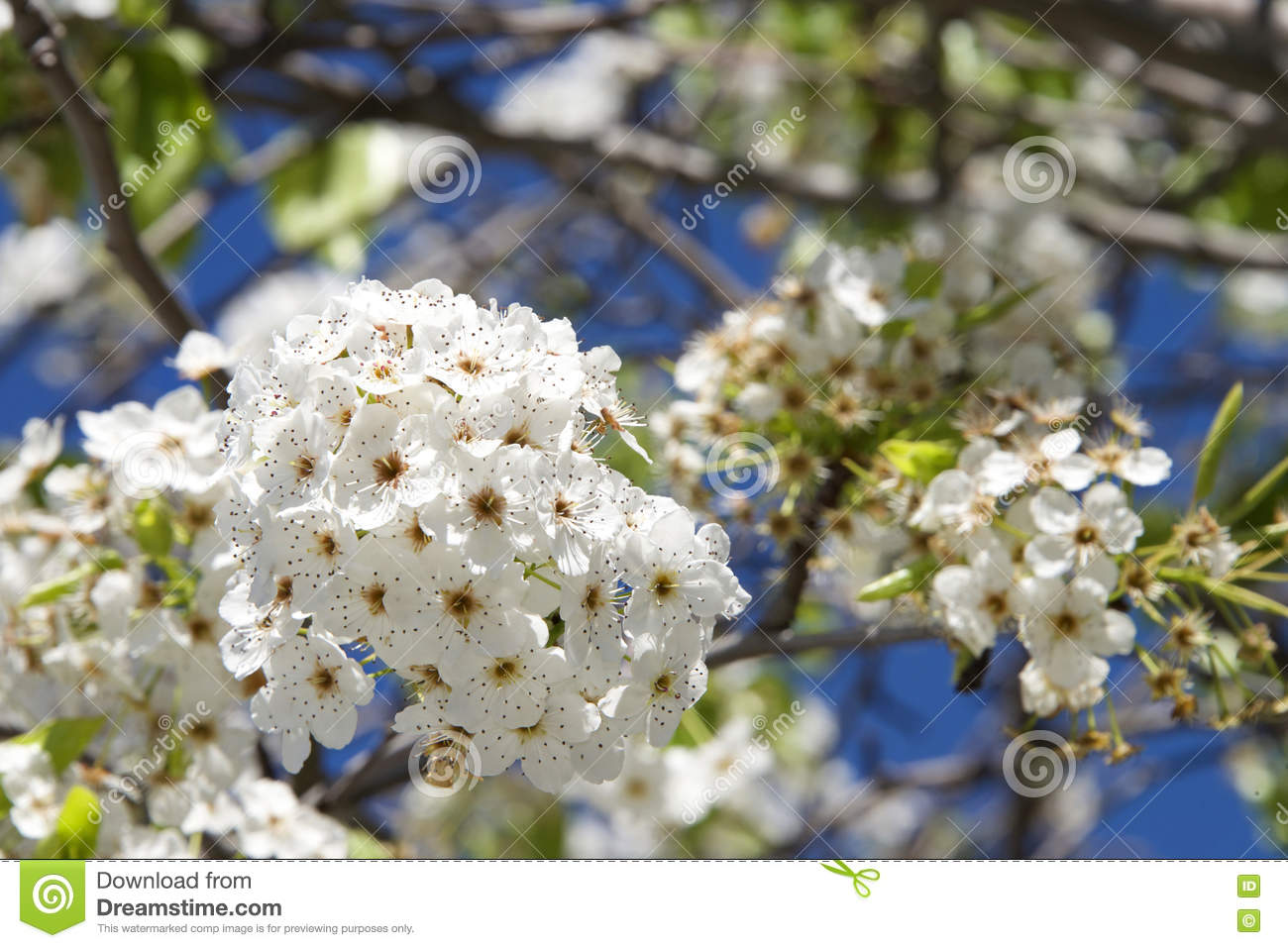 White cherry blossom tree flower clusters stock image image of white cherry blossom tree flower clusters mightylinksfo