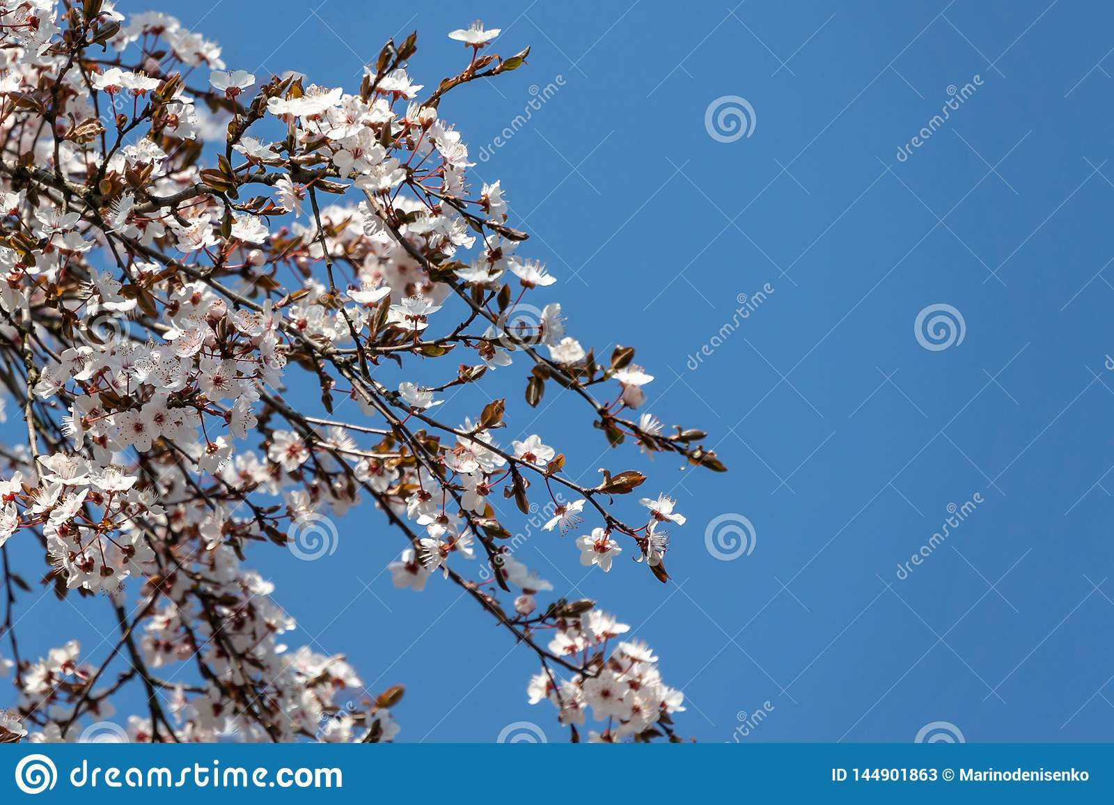 White cherry plum flowers blossom against background of blue sky. A lot of white flowers in sunny spring day. Selective focus