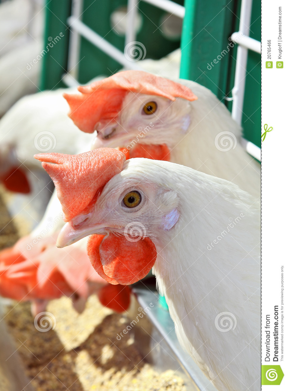 White chickens in cage