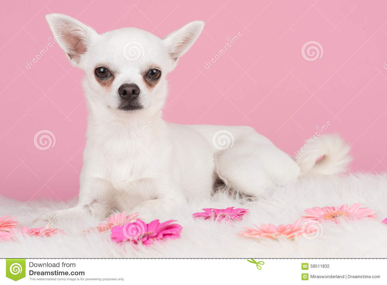 White Chihuahua Dog With Pink Background Stock Photo ...