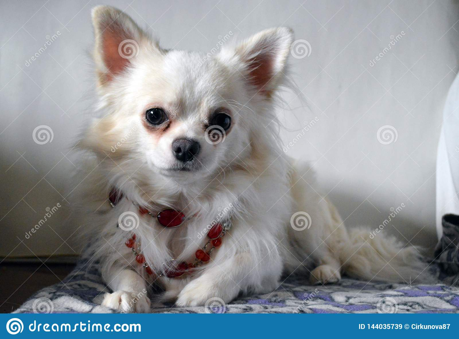 White chihuahua in red vintage necklace