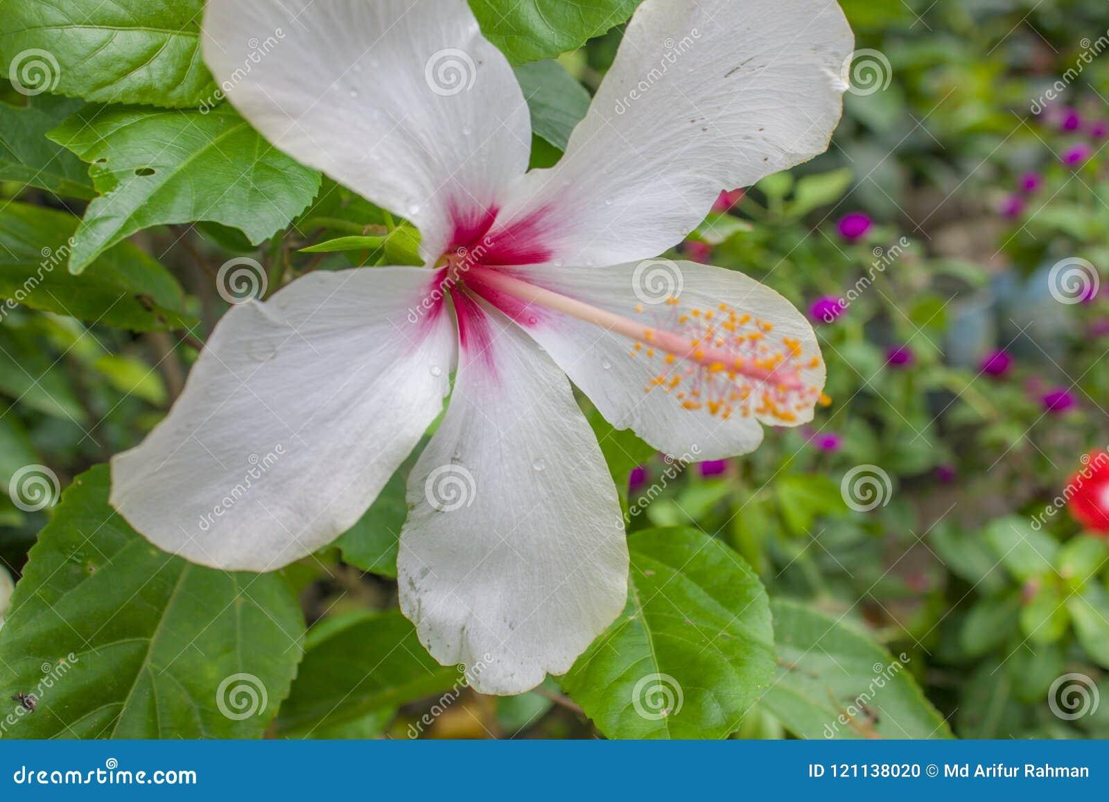 White China Rose Flower At Garden White Hibiscus Flower Stock