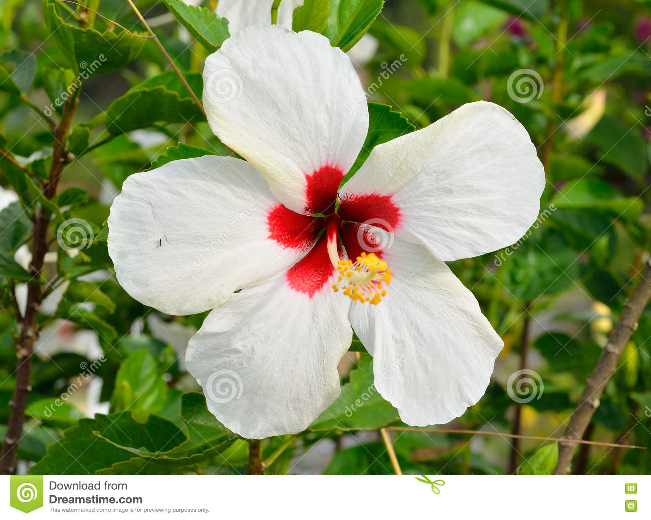 White chinese hibiscus flower stock photo image of malvaceae white chinese hibiscus flower izmirmasajfo
