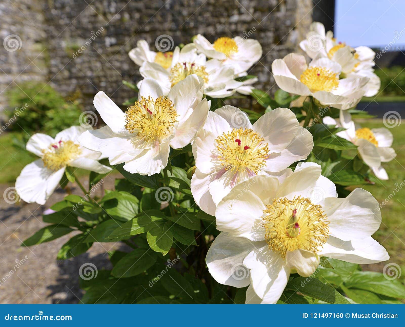 White Chinese Peonies Flowers Stock Photo Image Of Paeoniaceae