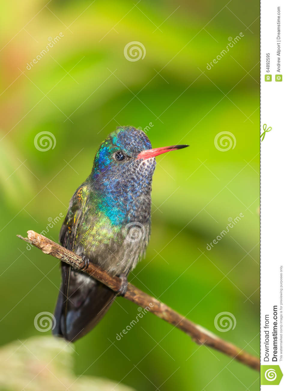 White chinned Sapphire hummingbird perched on twig