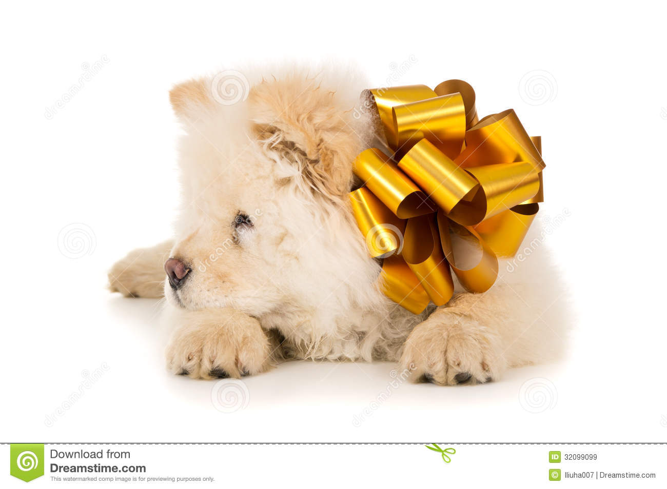 White Chow Chow With Bow Royalty Free Stock Images - Image ...
