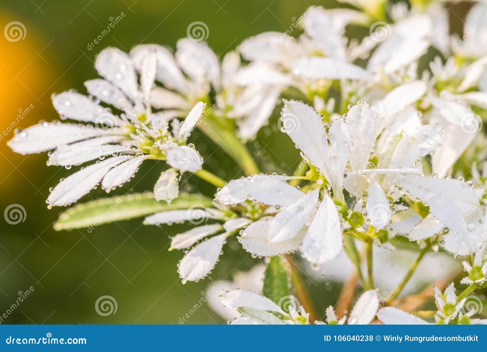 White Christmas Flower Pascuita Stock Photo Image Of Beauty