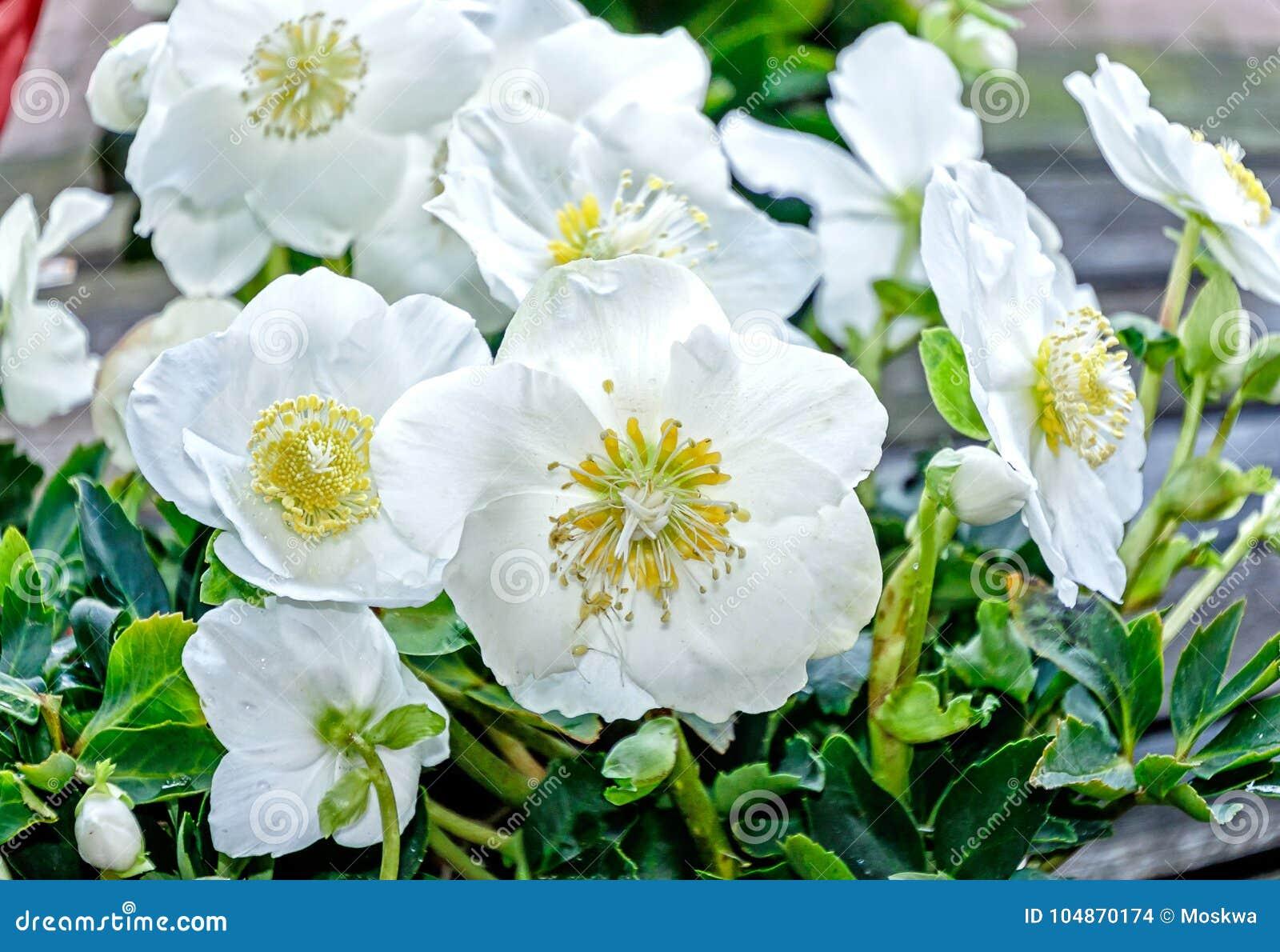 White Christmas Rose Hellebores Flowers Stock Photo Image Of Black