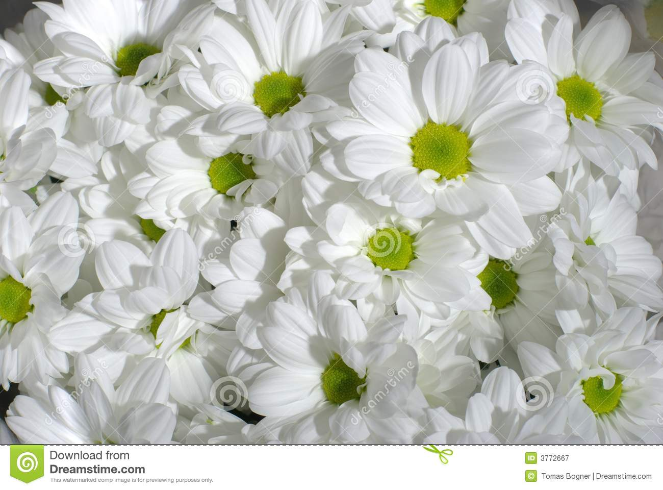 white chrysanthemum royalty free stock photography  image, Beautiful flower