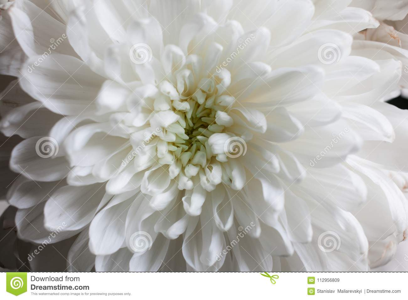 White chrysanthemum as background the white chrysanthemum flower white chrysanthemum as background the white chrysanthemum flower closeup macro white flower close up beautiful bouquet with chrysanthemum background mightylinksfo
