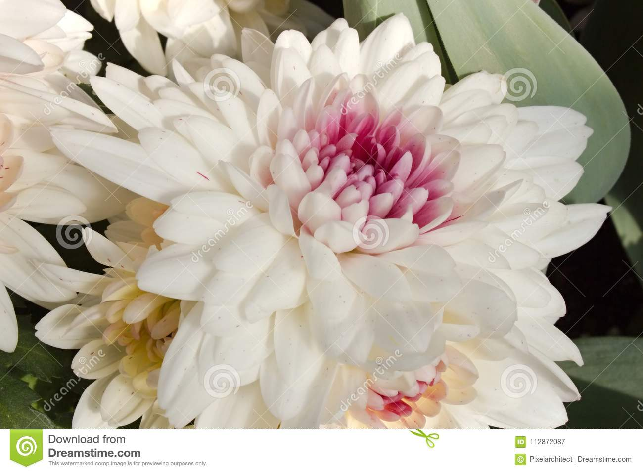 White Chrysanthemum Bloom