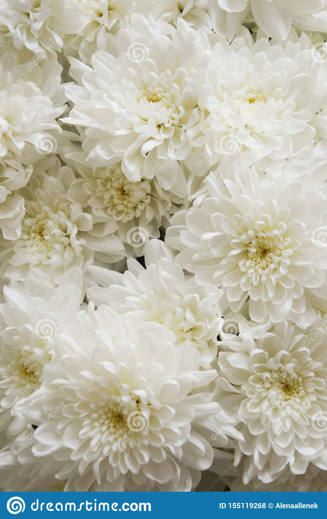 White Chrysanthemum Bouquet Of White Flowers Background For Postcards Stock Photo Image Of Chrysanthemum Bloom 155119268