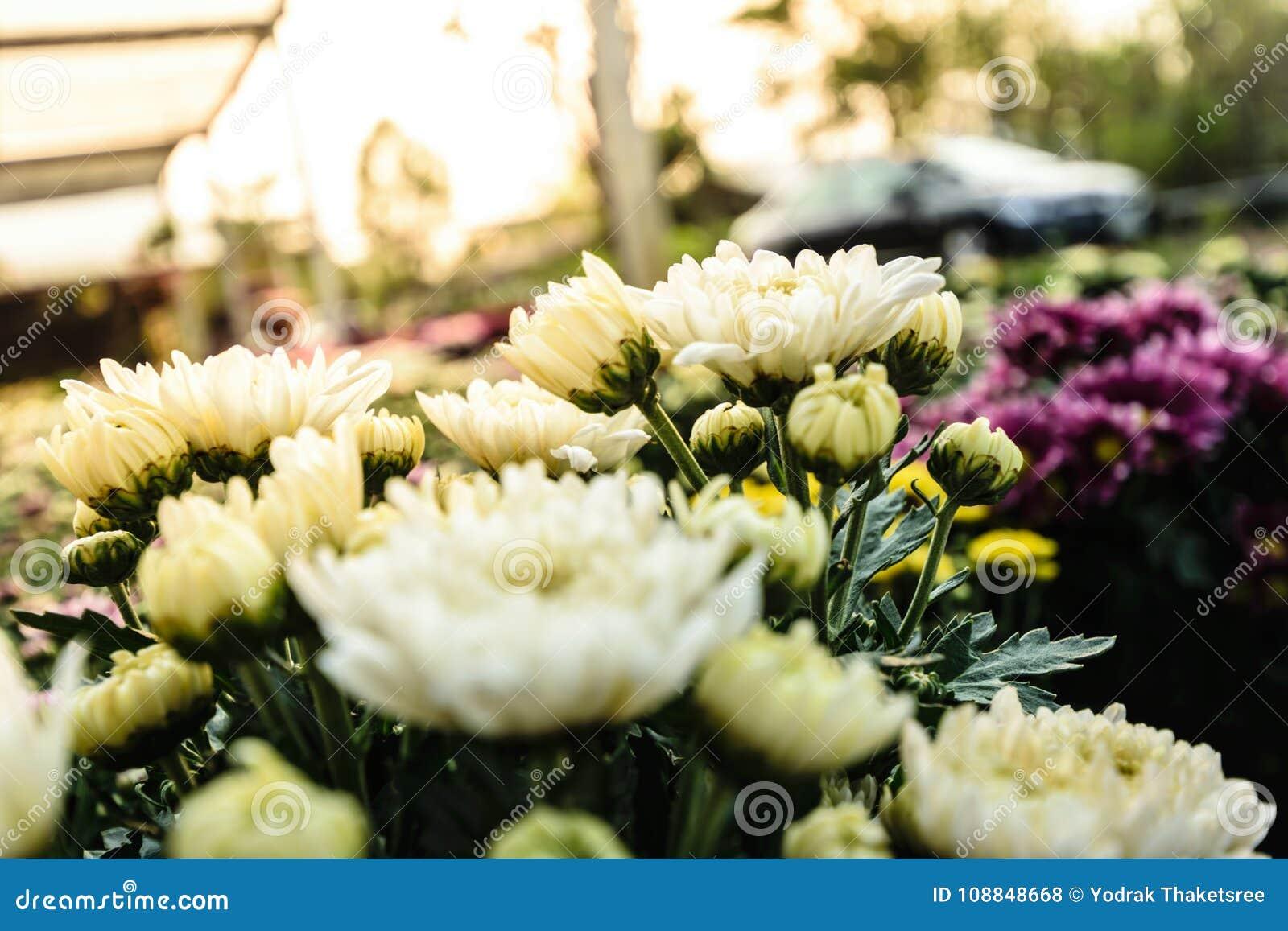 White Chrysanthemum Flower Stock Photo Image Of Background 108848668