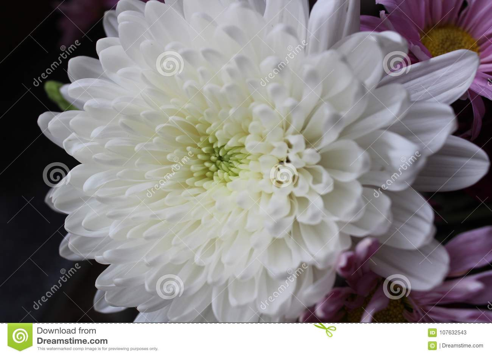 White Chrysanthemum Flower Stock Image Image Of White 107632543