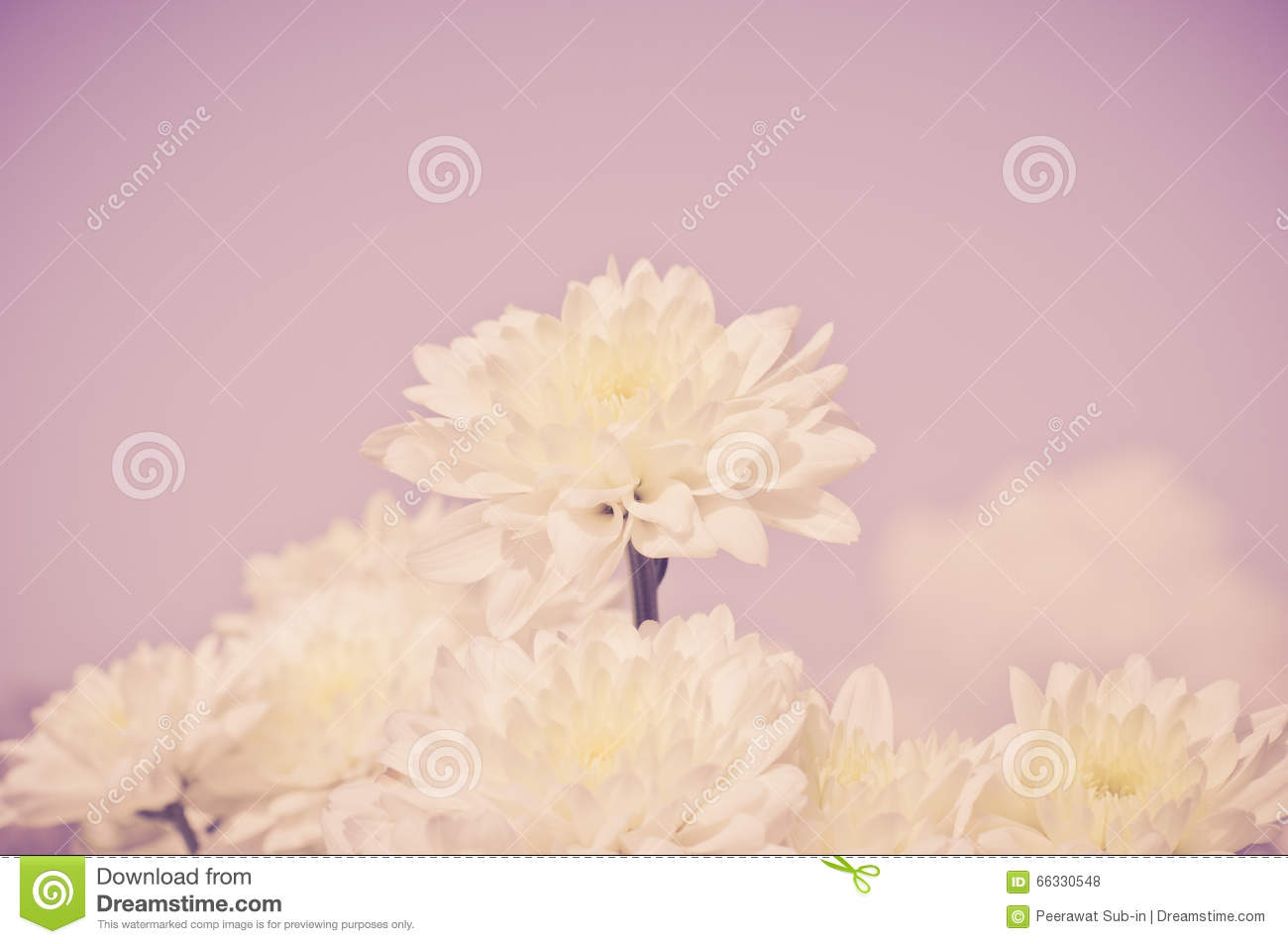 White chrysanthemum flower with old dark pink color filter