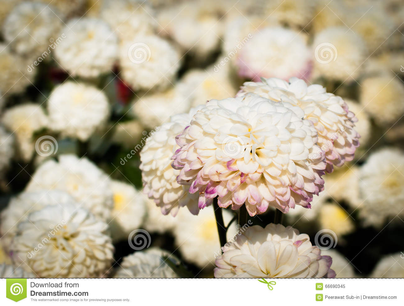 White chrysanthemum flower with old dark yellow color filter