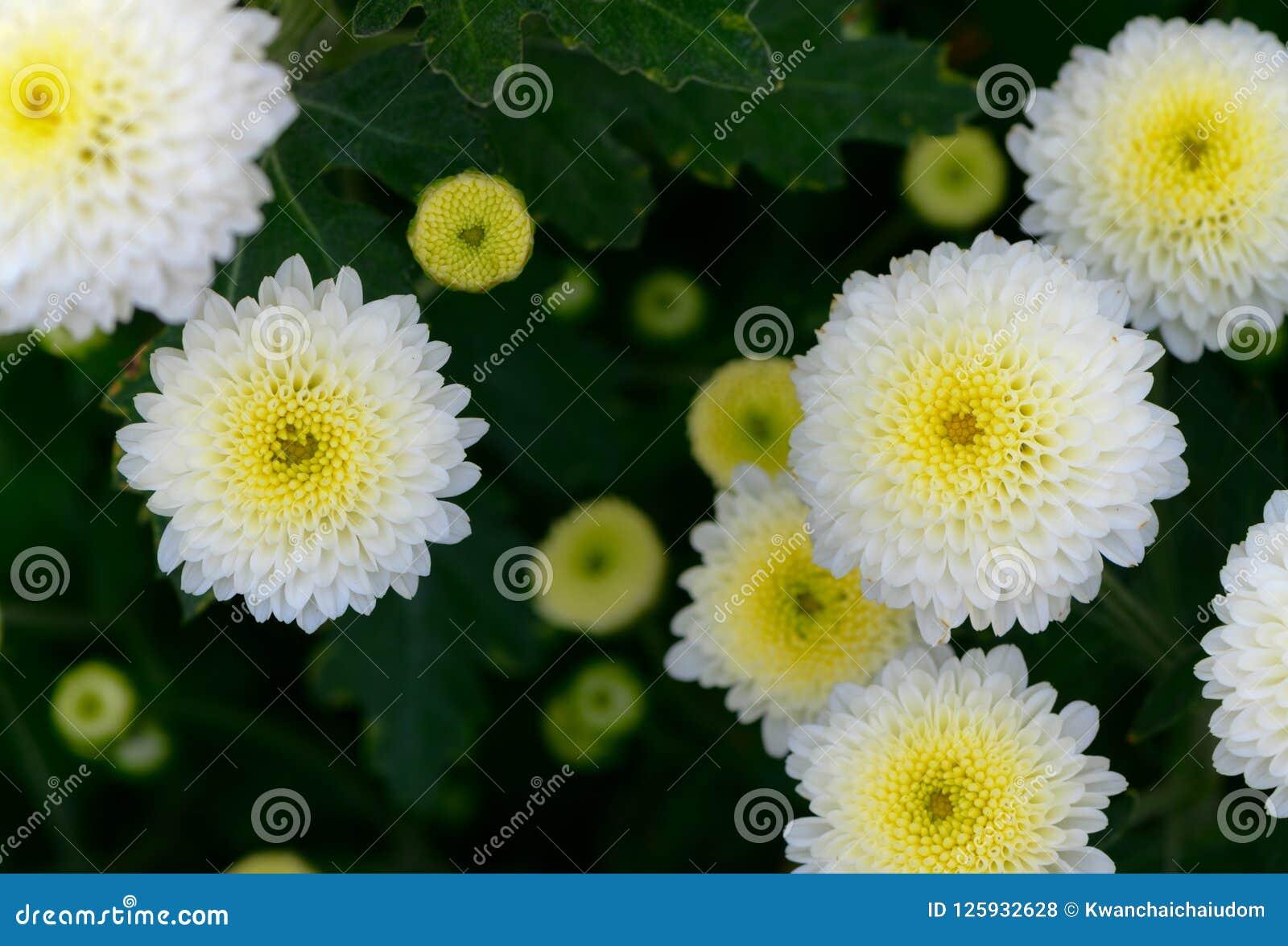 White chrysanthemum flower with yellow center on top view stock download white chrysanthemum flower with yellow center on top view stock photo image of mightylinksfo