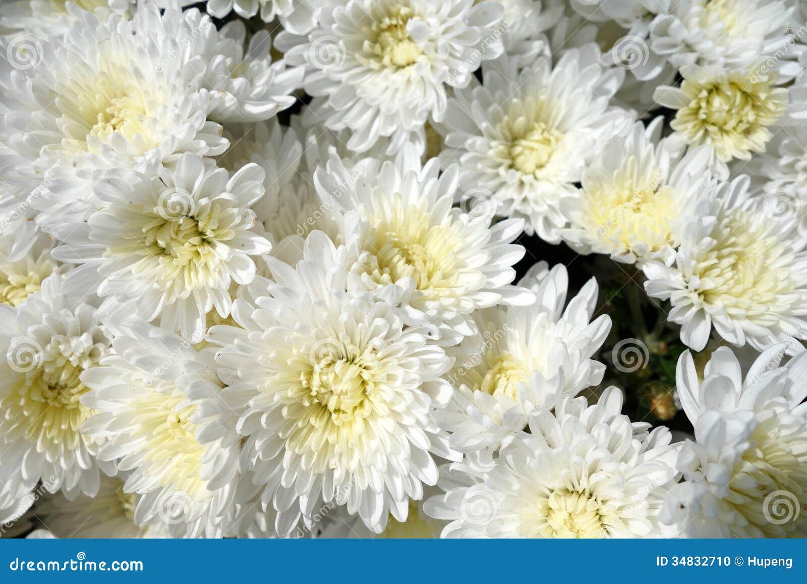 White Chrysanthemum Flowers Stock Photo Image Of Daisies Beauty