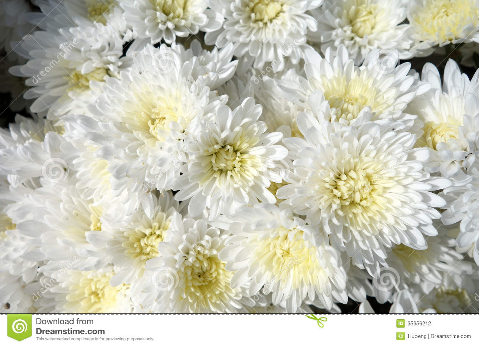Цветы фото белые хризантемы