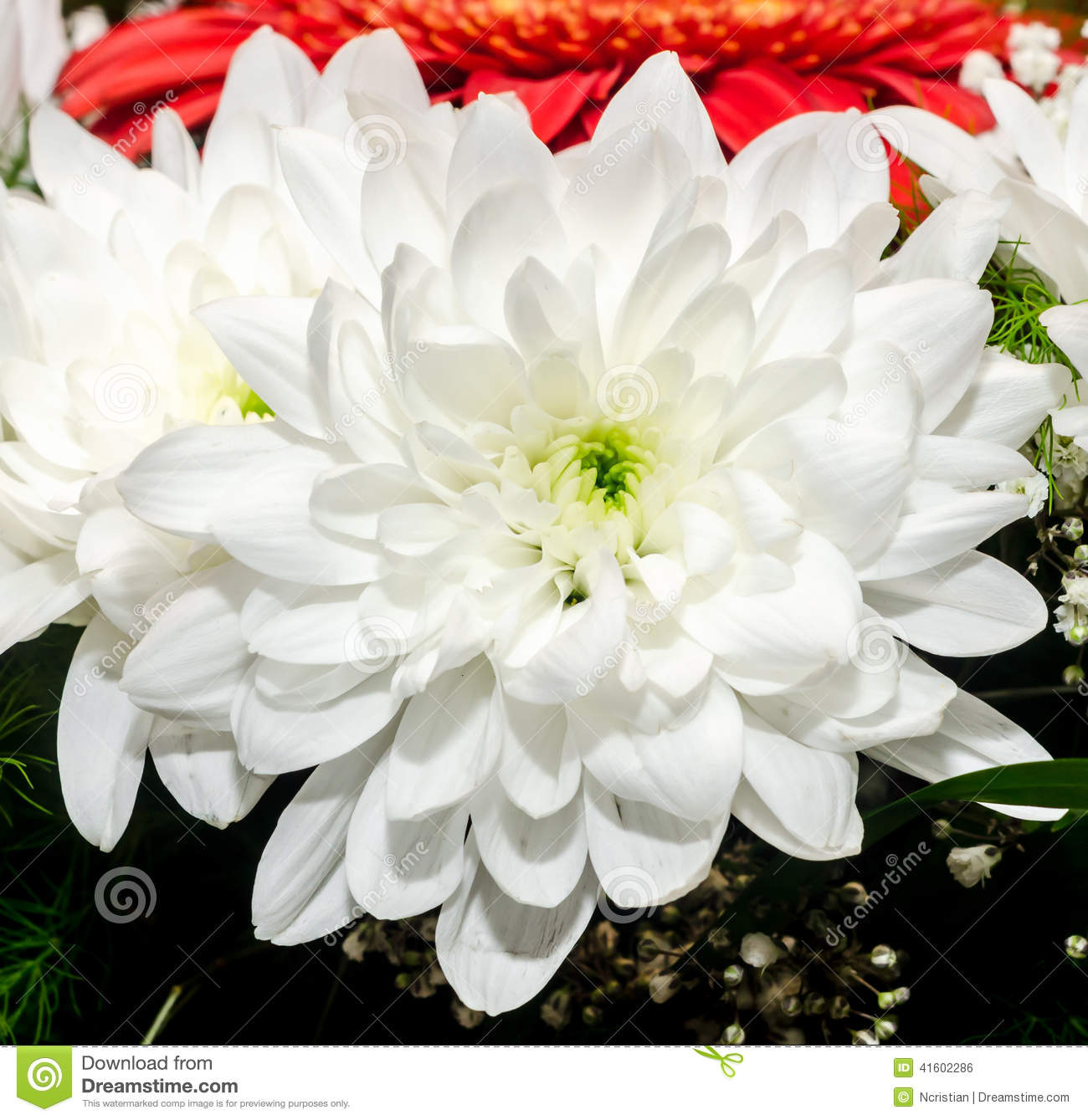 White chrysanthemum flowers stock photo image of bloom white chrysanthemum flowers mightylinksfo