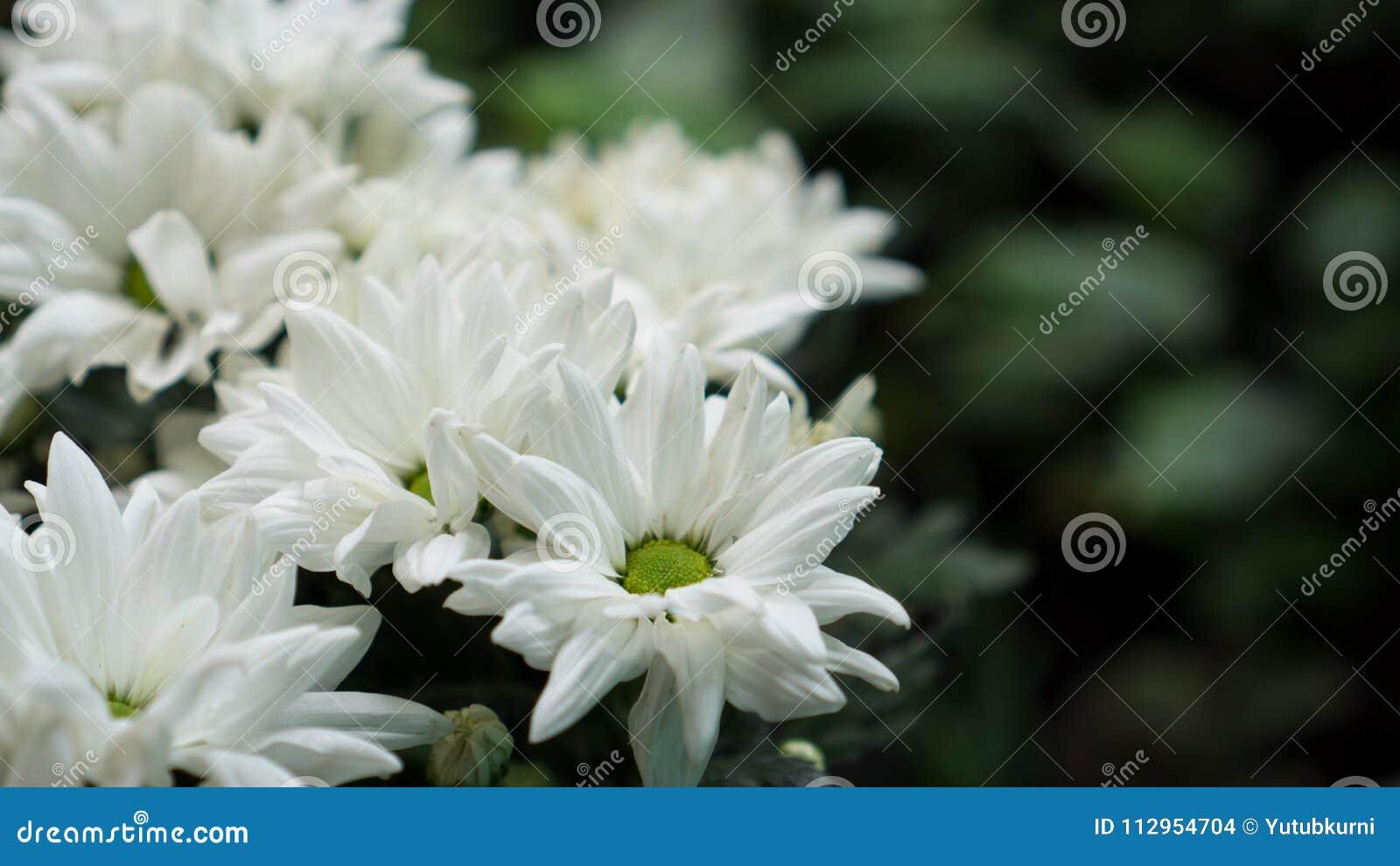 The White Chrysanthemum In Garden Stock Photo Image Of Auntum